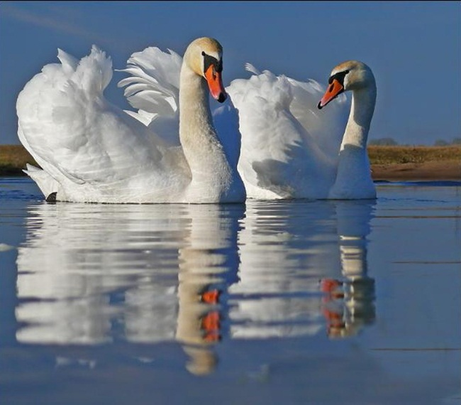pictures-of-swan- (18)
