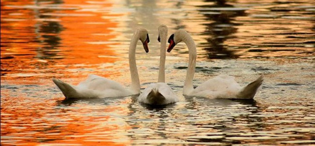 pictures-of-swan- (19)