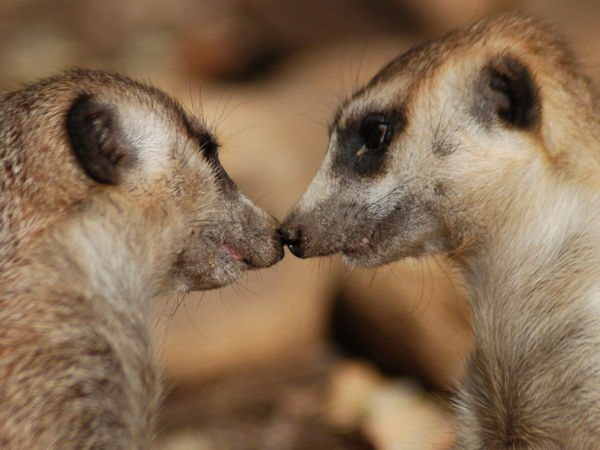 animals-kissing-pictures- (21)