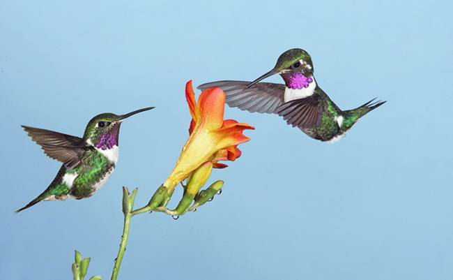 colorful-hummingbirds- (12)