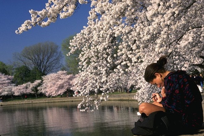 photos-of-cherry-blossom-festival-in-washington- (1)