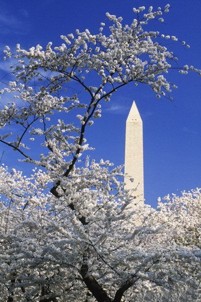 photos-of-cherry-blossom-festival-in-washington- (2)