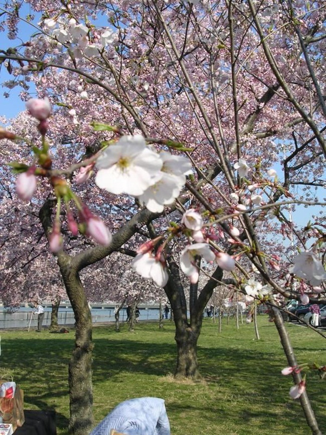 photos-of-cherry-blossom-festival-in-washington- (6)