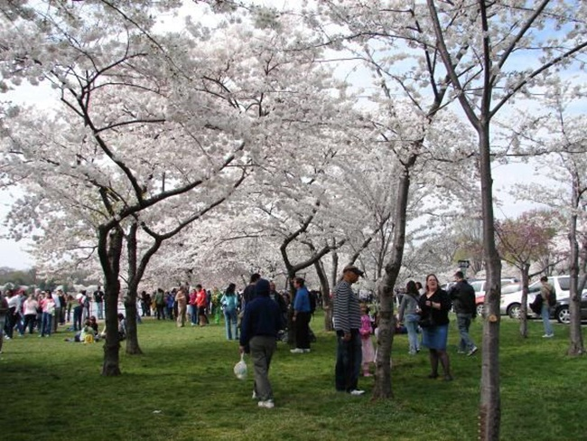 photos-of-cherry-blossom-festival-in-washington- (8)