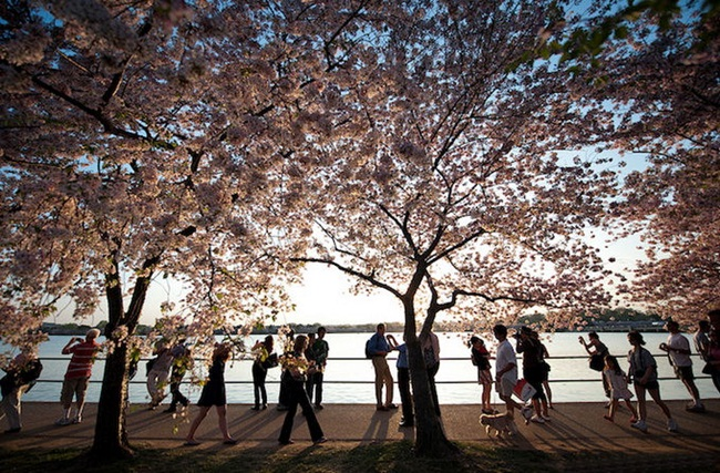 photos-of-cherry-blossom-festival-in-washington- (11)