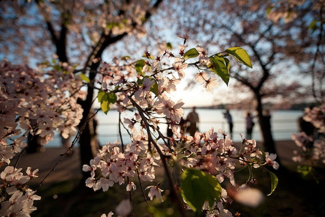 photos-of-cherry-blossom-festival-in-washington- (12)