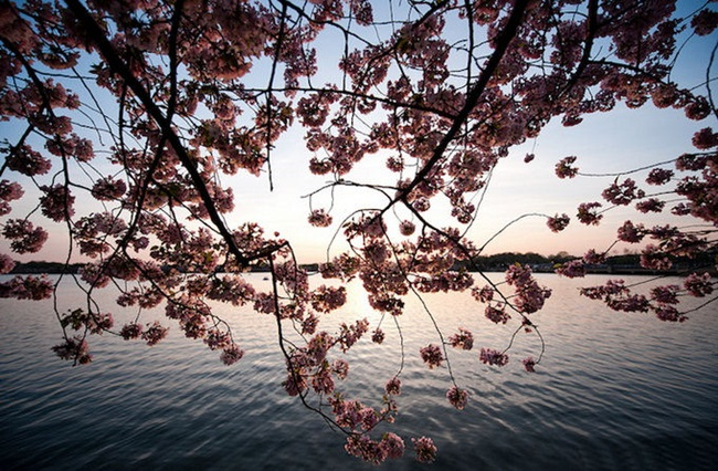 photos-of-cherry-blossom-festival-in-washington- (14)