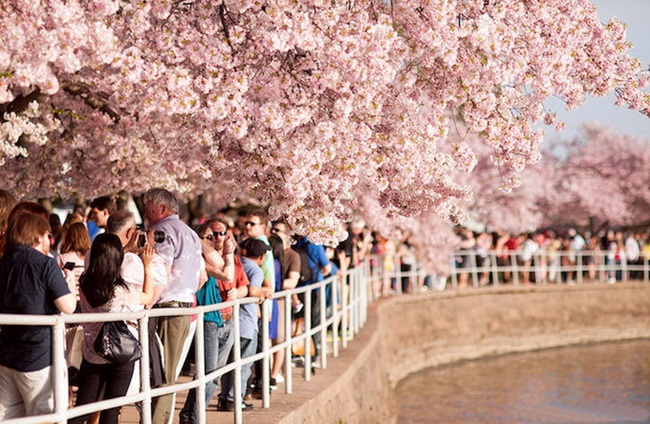 photos-of-cherry-blossom-festival-in-washington- (15)