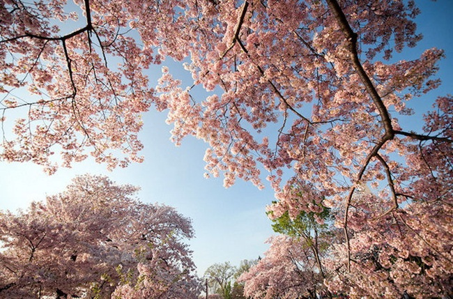 photos-of-cherry-blossom-festival-in-washington- (19)