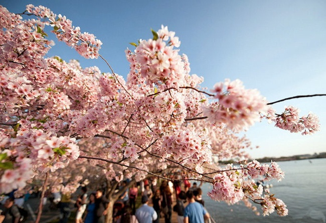 photos-of-cherry-blossom-festival-in-washington- (20)