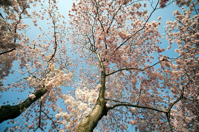 photos-of-cherry-blossom-festival-in-washington- (21)