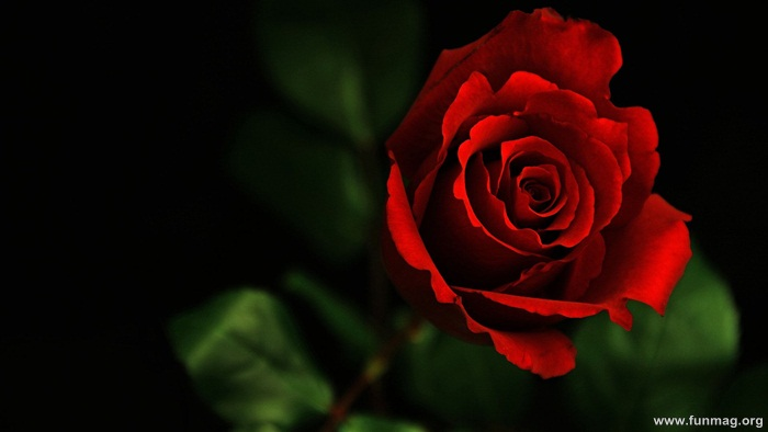 romantic-red-roses-pictures- (2)
