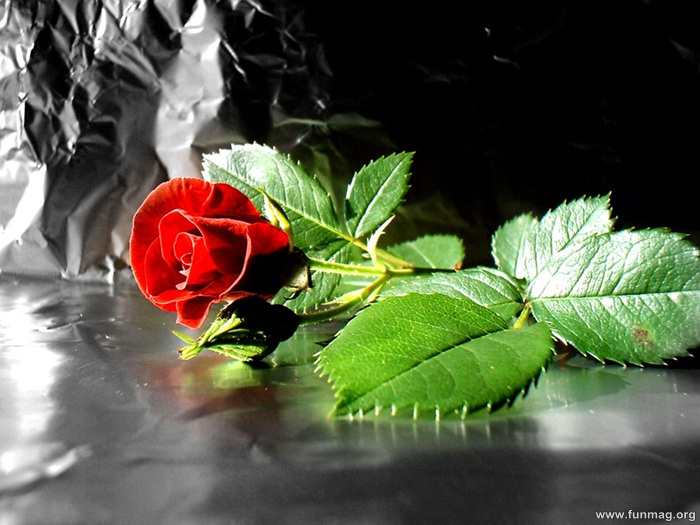 romantic-red-roses-pictures- (7)