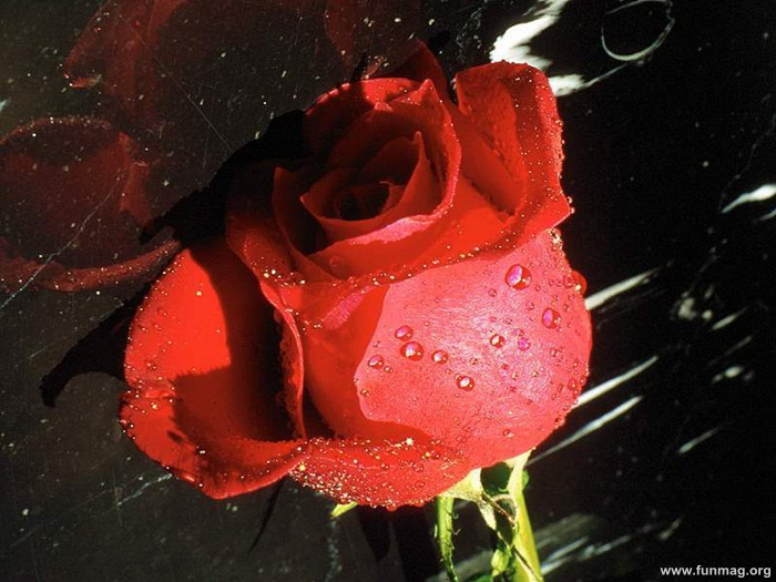romantic-red-roses-pictures- (8)