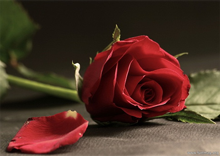 romantic-red-roses-pictures- (10)