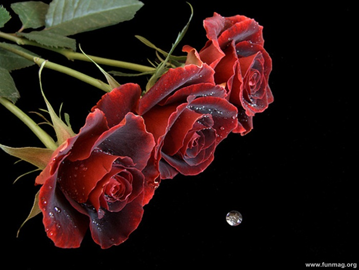 romantic-red-roses-pictures- (13)