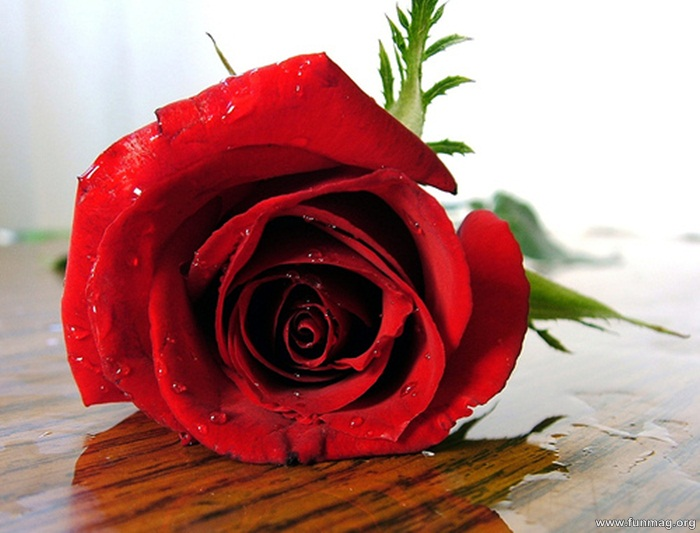 romantic red roses pictures  photos  funmag, Beautiful flower