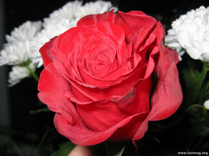 romantic-red-roses-pictures- (18)