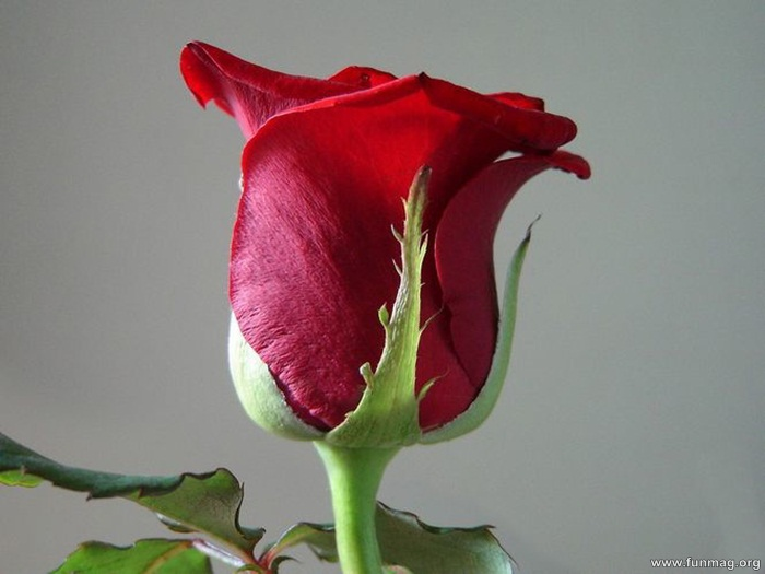romantic-red-roses-pictures- (20)