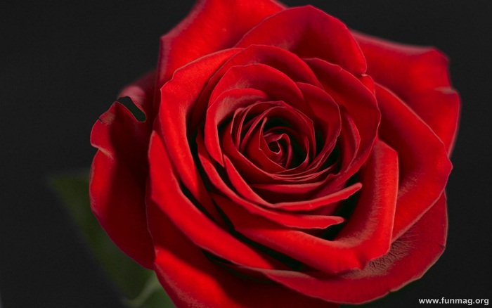 romantic-red-roses-pictures- (21)