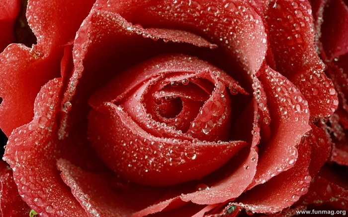 romantic-red-roses-pictures- (22)