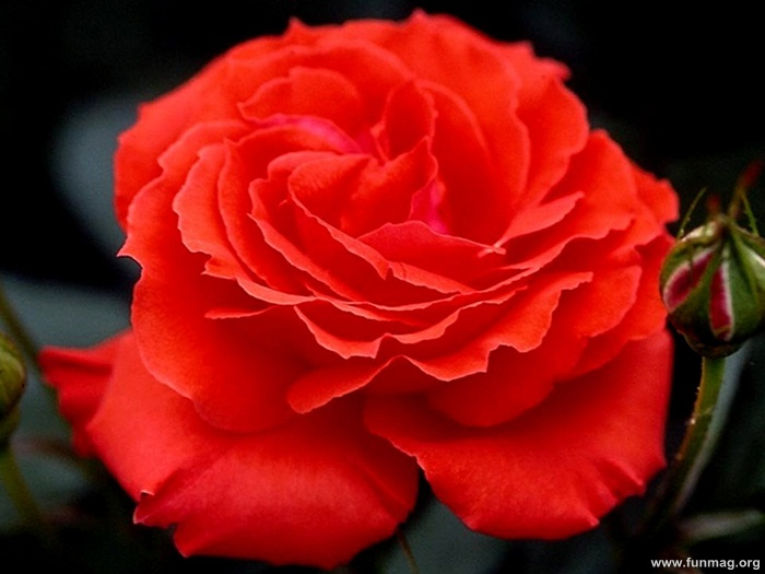romantic-red-roses-pictures- (24)