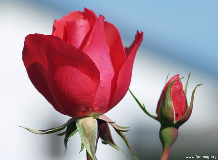romantic-red-roses-pictures- (25)