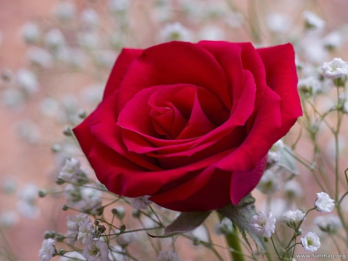 romantic-red-roses-pictures- (27)