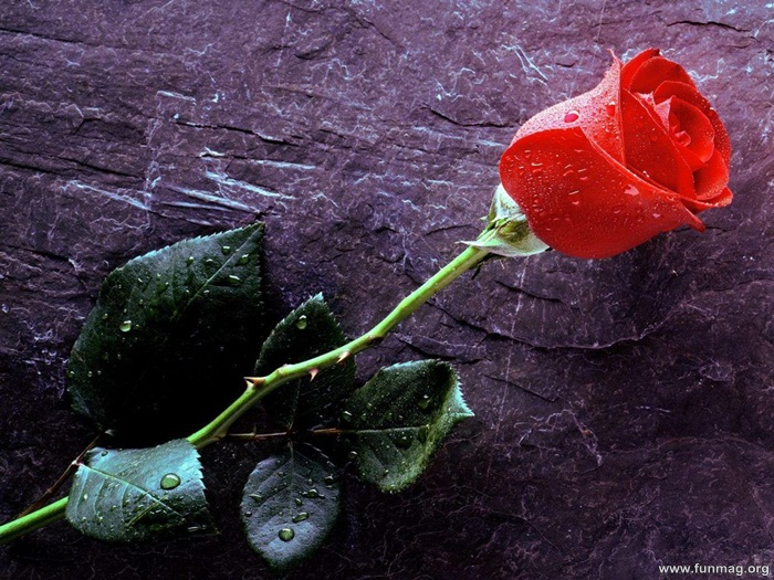 romantic-red-roses-pictures- (28)