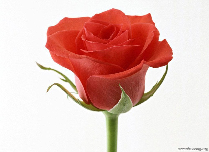 romantic-red-roses-pictures- (29)