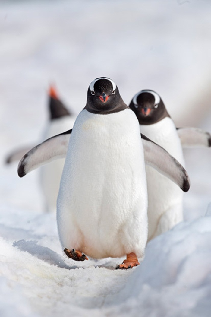 cute-penguin-photos- (13)
