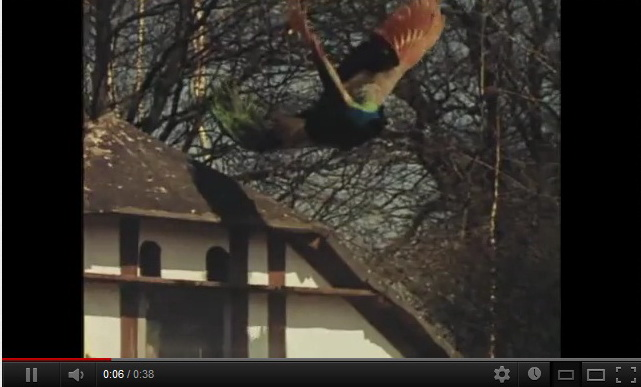 """flying-peacock-video"""
