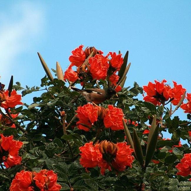 beautiful-african-tulips- (3)