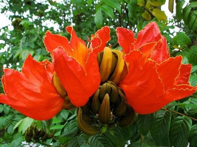 beautiful-african-tulips- (8)