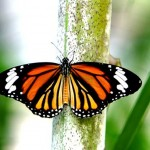 colorful-butterflies-26-photos- (6)