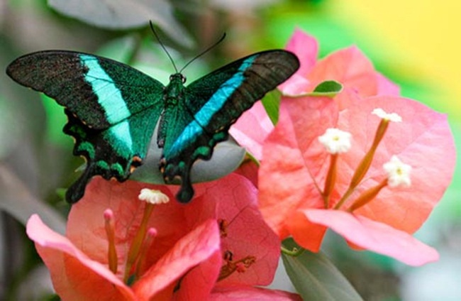 colorful-butterflies-26-photos- (7)