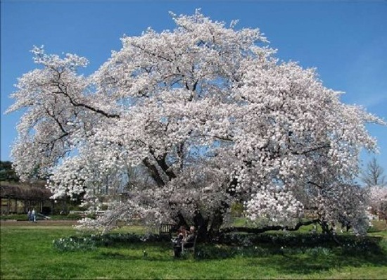 blooming-trees- (1)