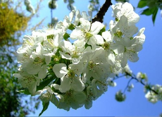 blooming-trees- (17)