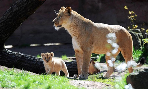 baby-animals-and-mothers- (6)