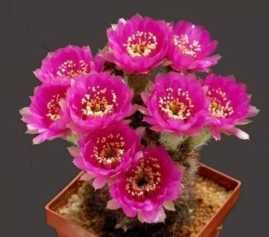 cactus-flowers- (1)