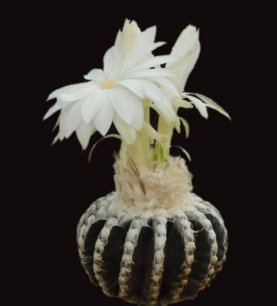 cactus-flowers- (14)