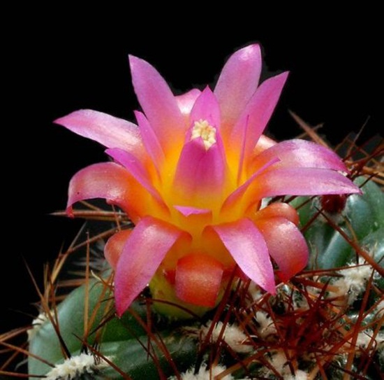 cactus-flowers- (15)