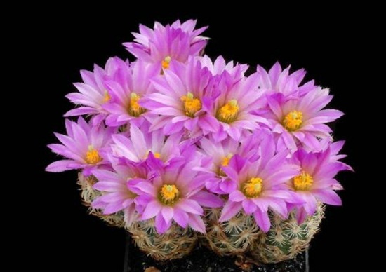 cactus-flowers- (17)