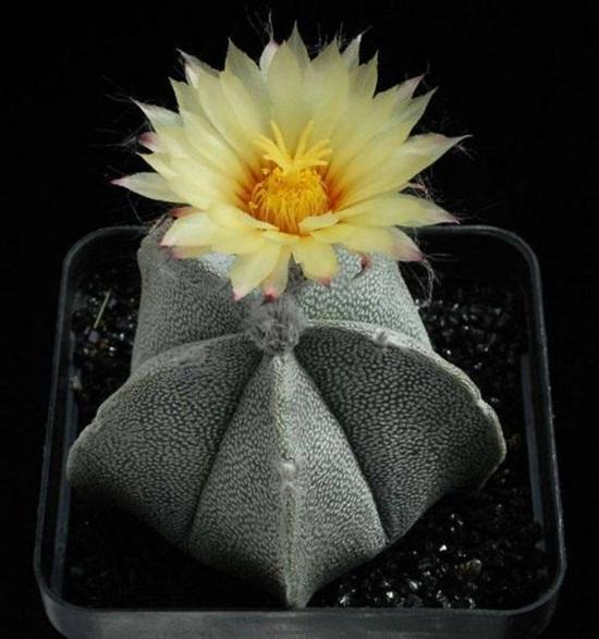 cactus-flowers- (23)
