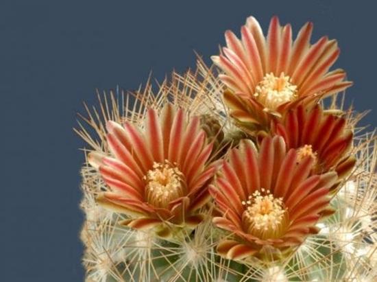 cactus-flowers- (28)
