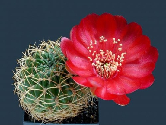 cactus-flowers- (30)