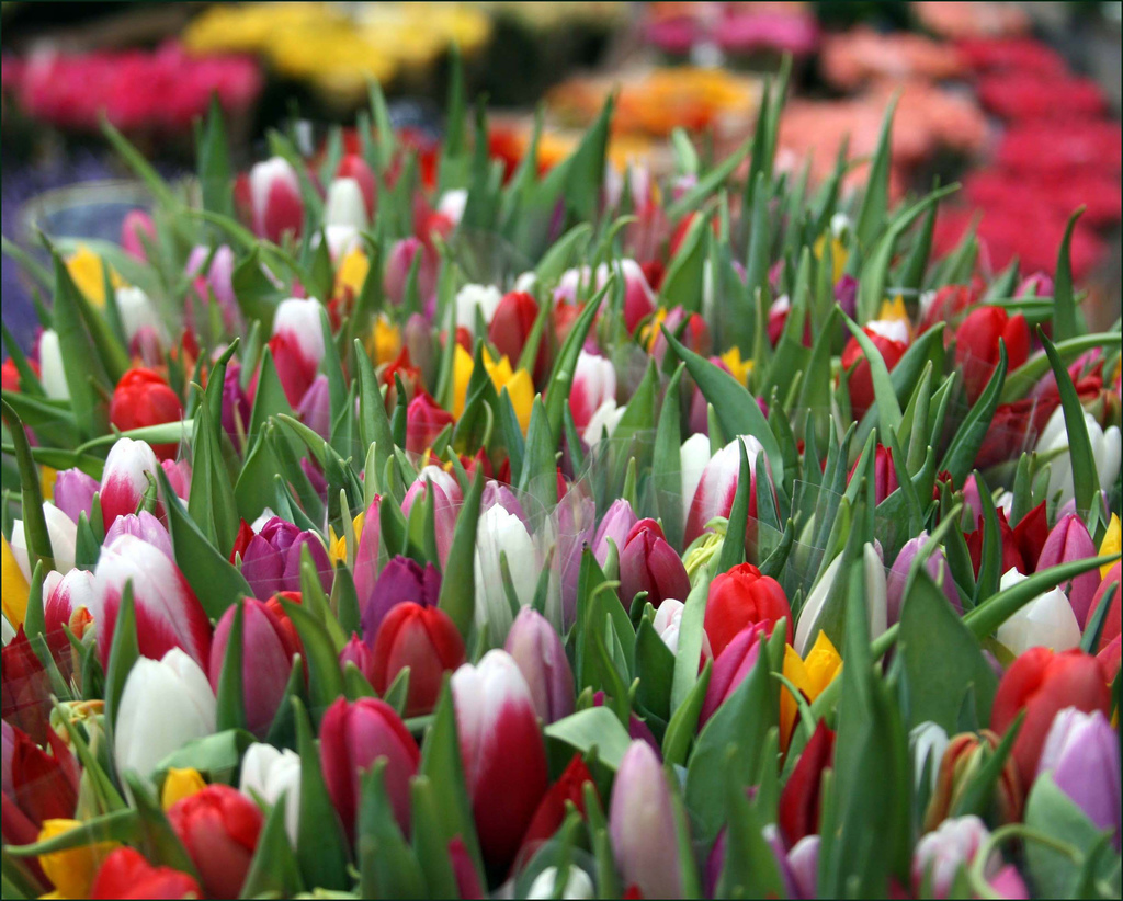 Tulip Flowers Wallpaper 15 s