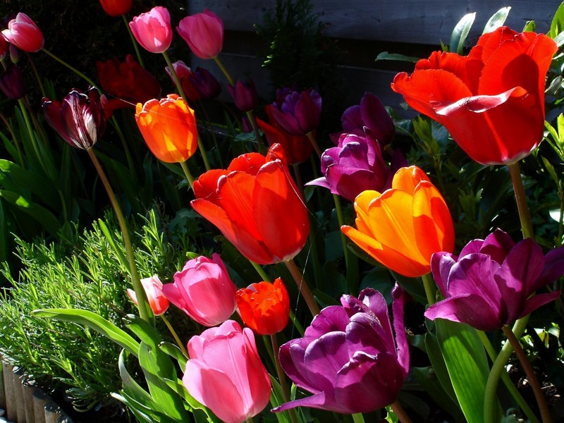 tulip-flower-wallpaper- (8)