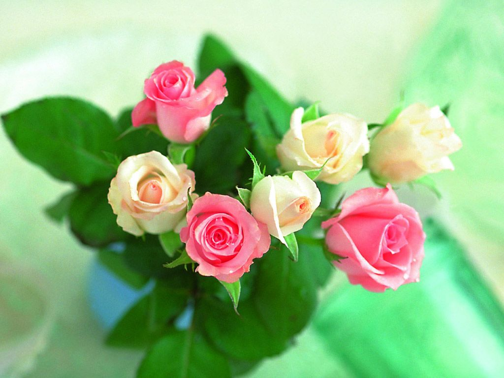 Beautiful Roses Wallpapers 20 Photos