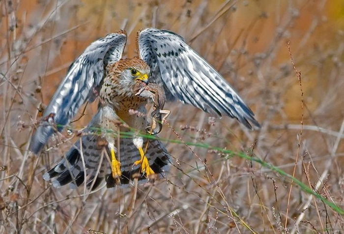 pictures-of-birds-after-successfully-hunted-their-food- (13)